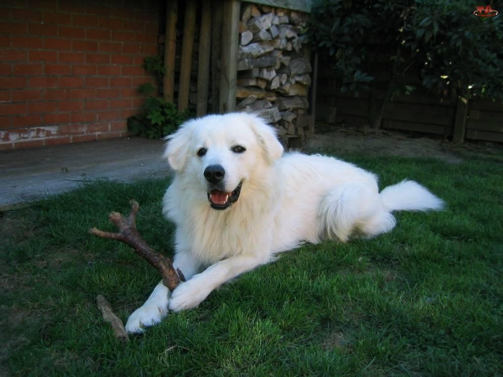 чешская горская собака