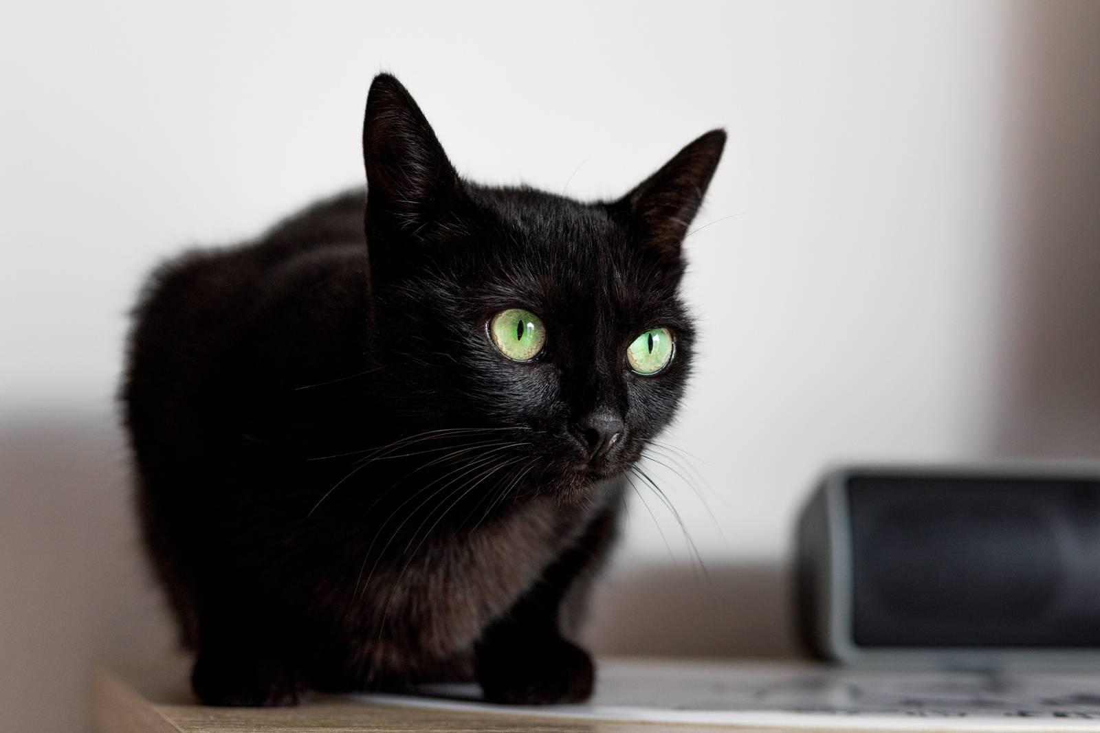 инбридинг у кошек