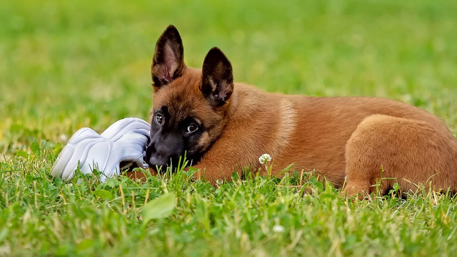 какая порода собак лучше поддается дрессировке