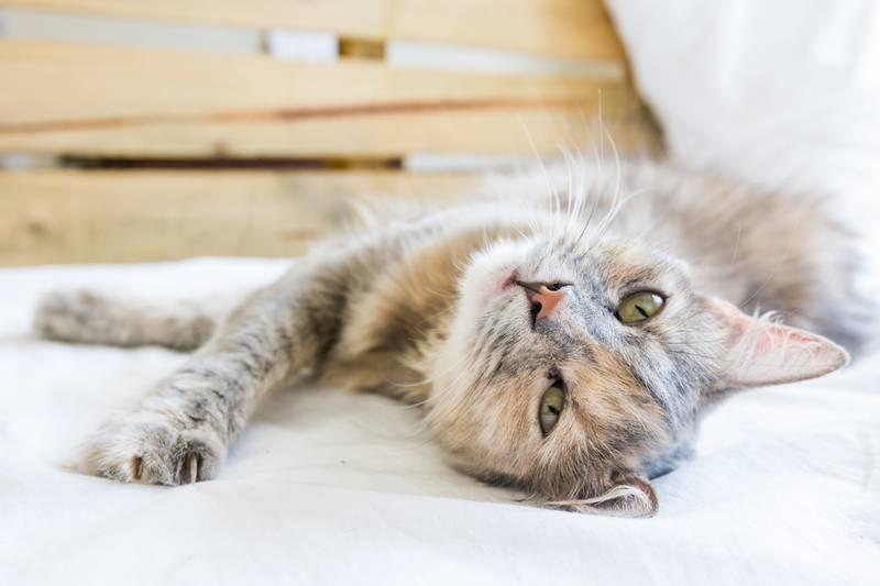 инбридинг у кошек последствия