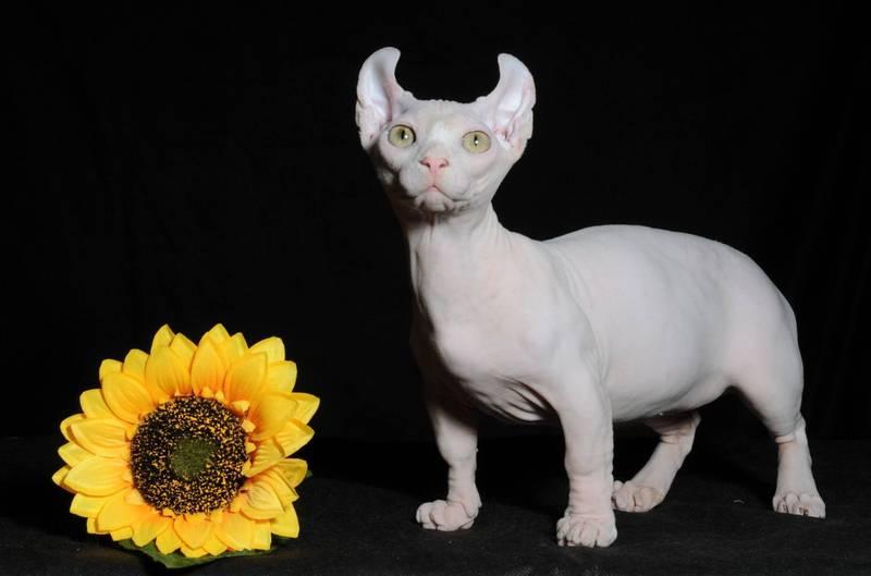 фото кошки породы двэльф
