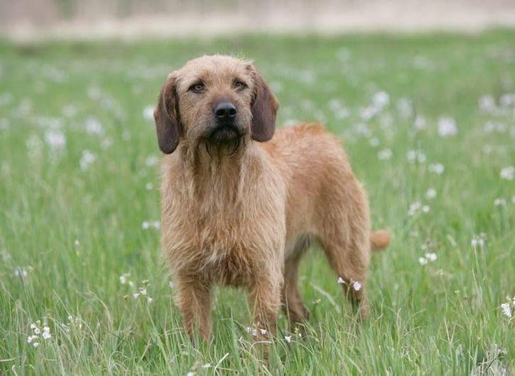 уход и содержание собаки породы штирийская гончая