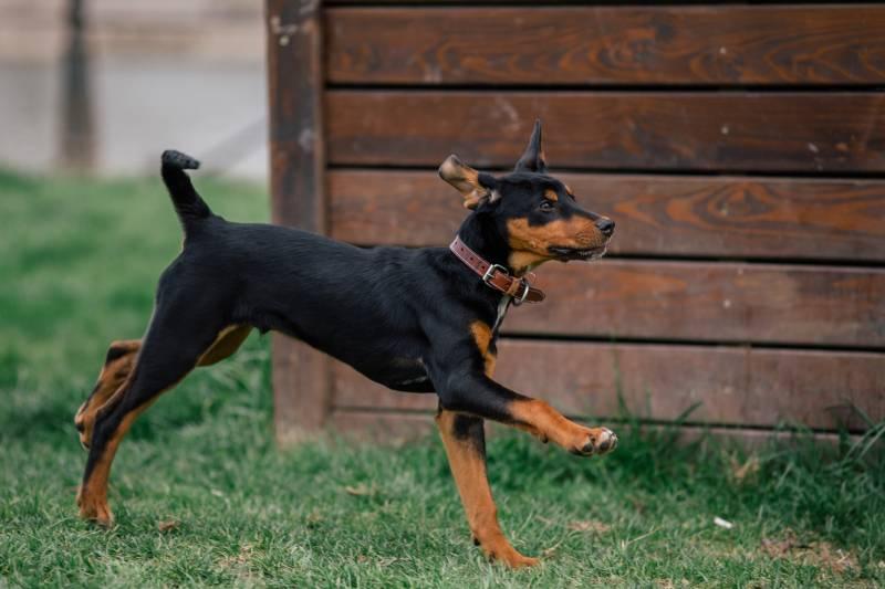 уход и содержание собаки породы трансильванская гончая