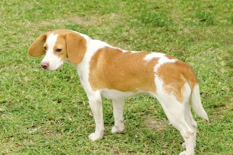 порода собаки истрийская гончая