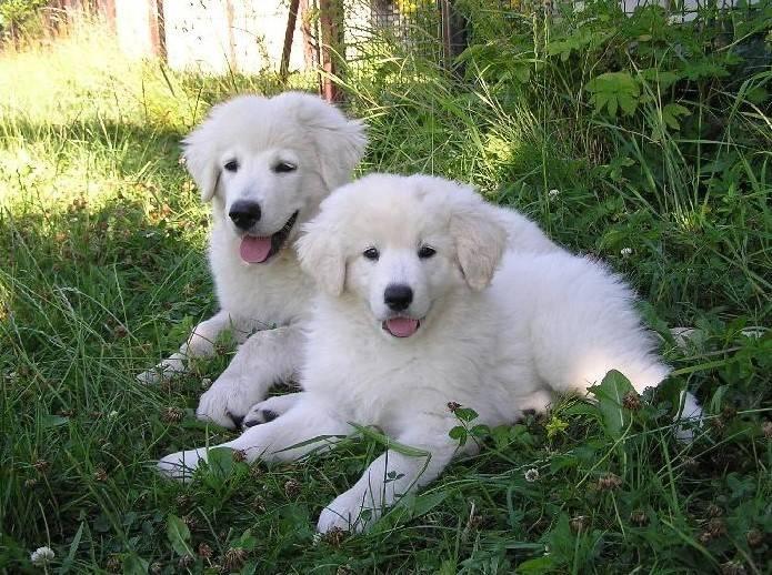 характеристики собаки породы чешская горская собака