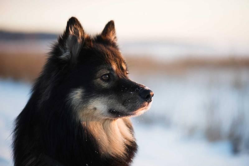 характеристики собаки породы финский лаппхунд