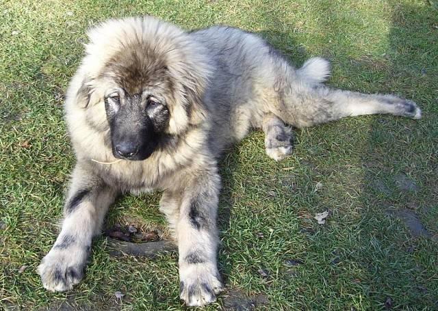 уход и содержание собаки породы шарпланинская овчарка