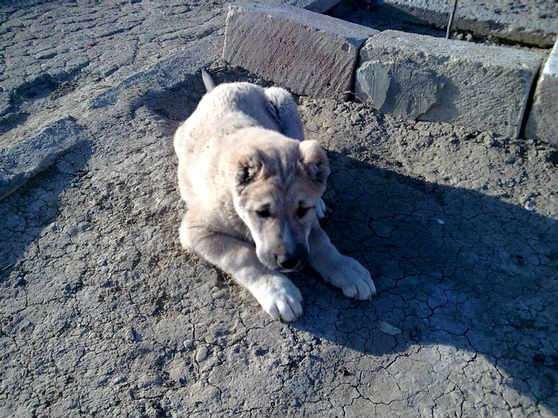 уход и содержание собаки породы азербайджанский гурдбасар