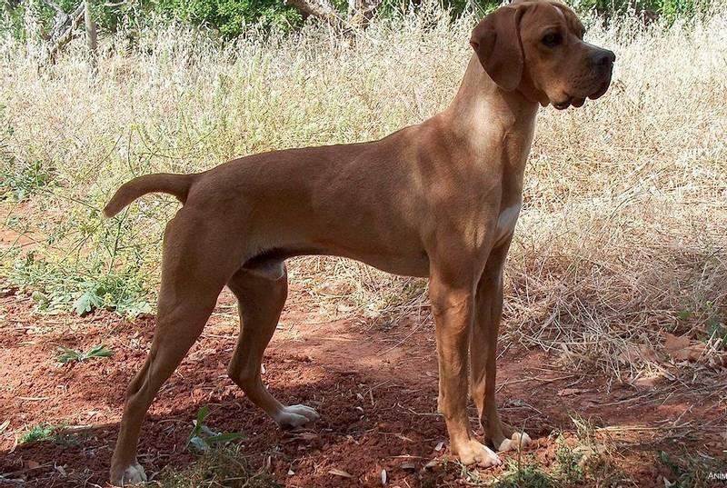 порода собаки герта пойнтер