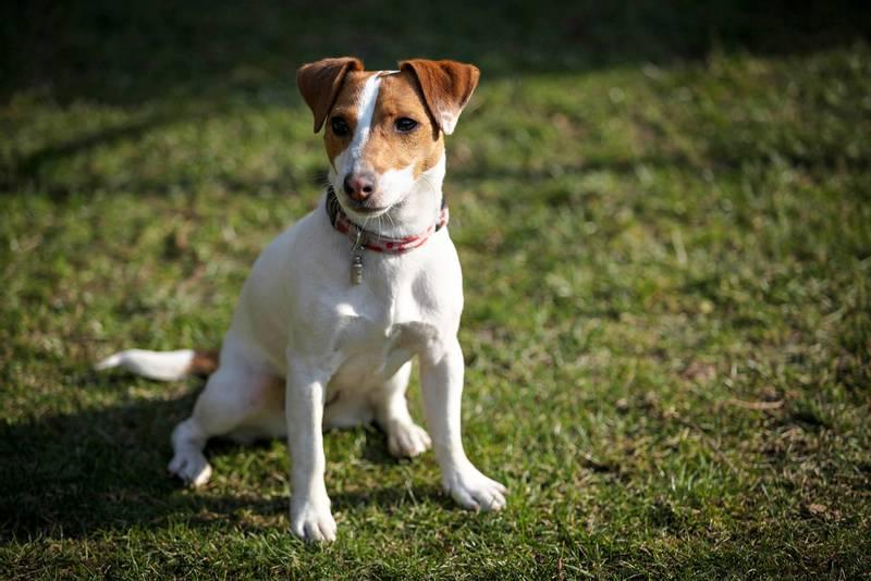 уход и содержание собаки породы тентерфилд терьер