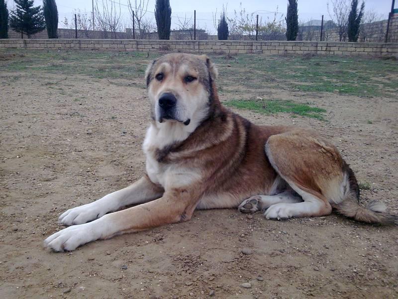 порода собаки азербайджанский гурдбасар