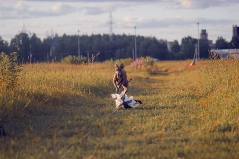 собака скорость бега км ч