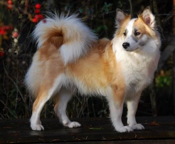 характеристики собаки породы батакский шпиц