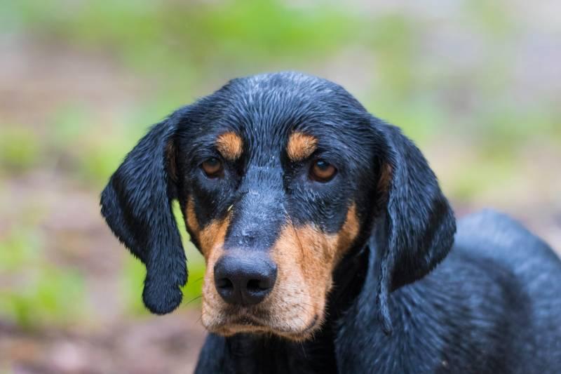 порода собаки трансильванская гончая