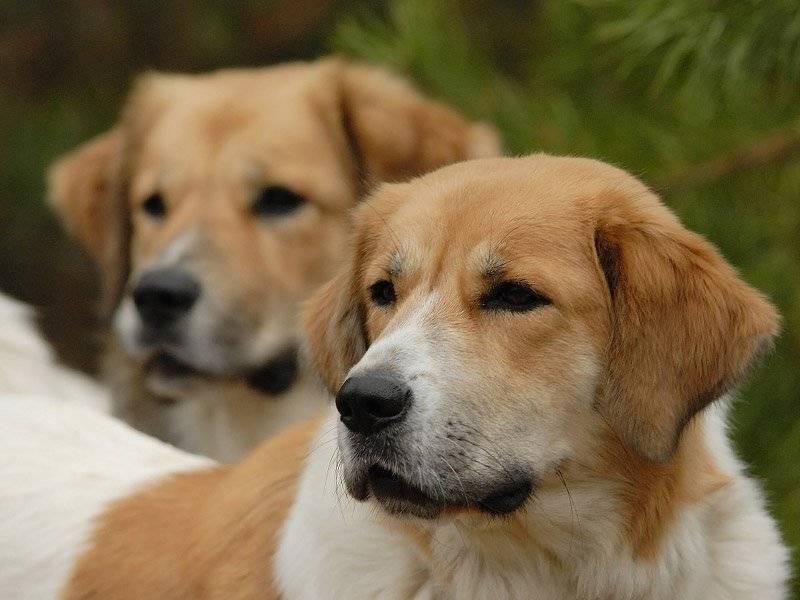 фото собаки породы чешская горская собака