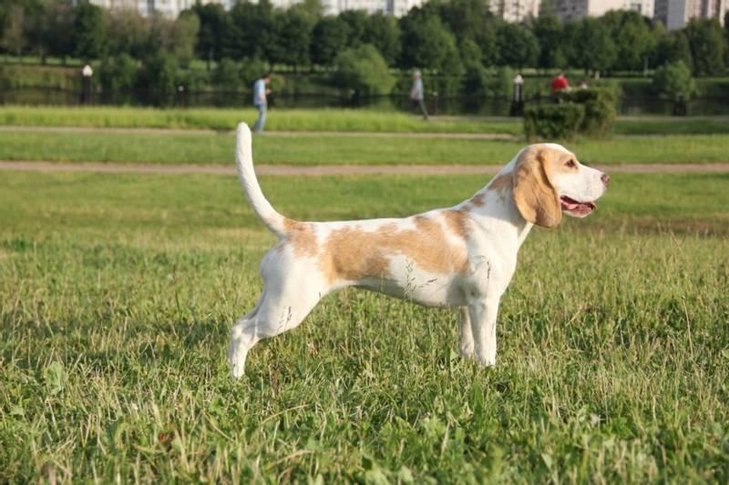 фото собаки породы вест кантри харьер
