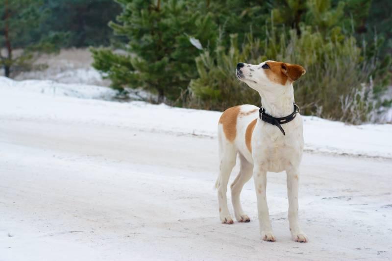 уход и содержание собаки породы истрийская гончая