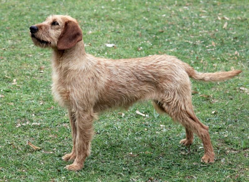 порода собаки штирийская гончая