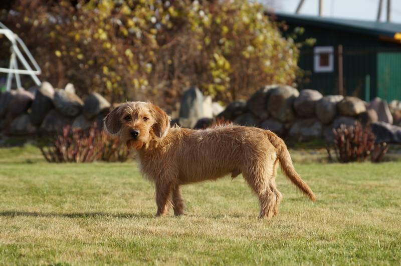 уход и содержание собаки породы бретонский палевый бассет