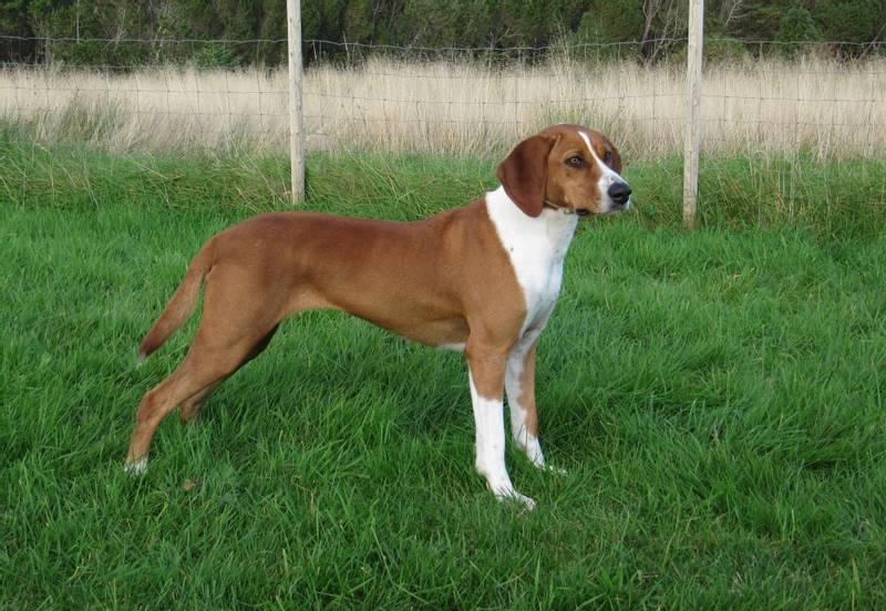 фото собаки породы хюгенхунд