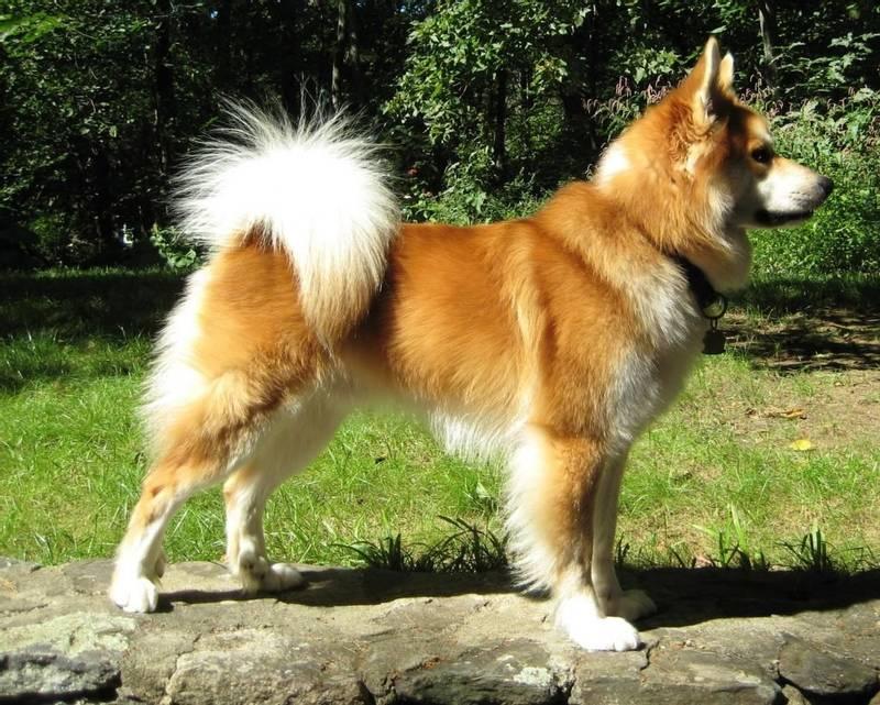 уход и содержание собаки породы батакский шпиц