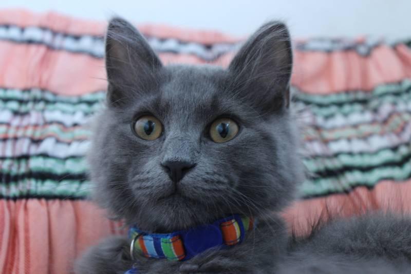 Востребованные породы кошек в россии