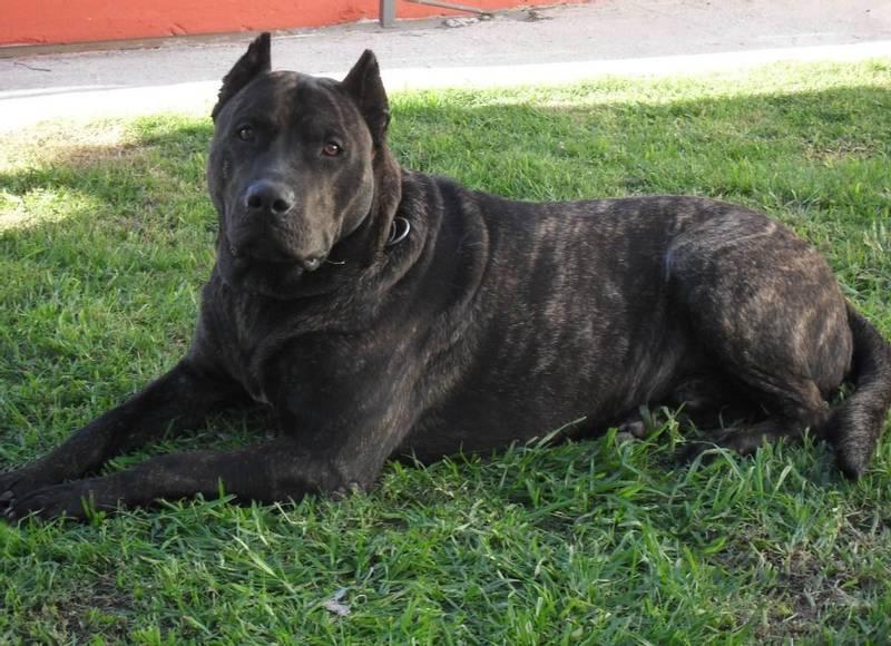 порода собаки уругвайский симаррон
