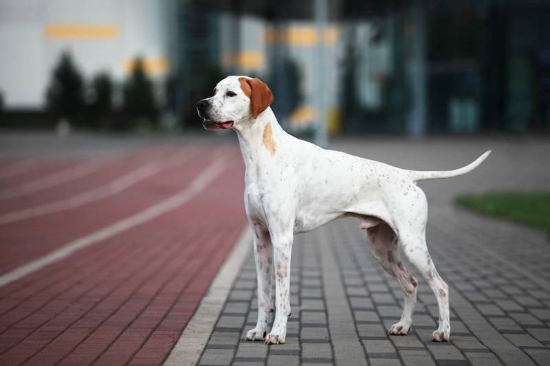 фото собаки породы герта пойнтер
