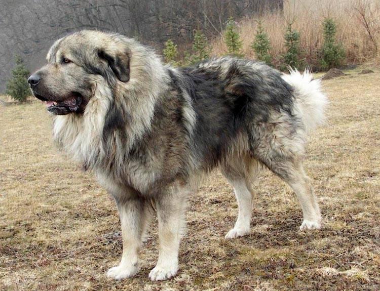 порода собаки шарпланинская овчарка