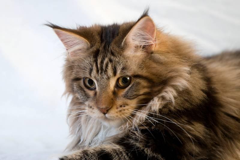 Востребованные породы кошек в россии thumbnail