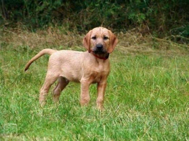 характеристики собаки породы штирийская гончая