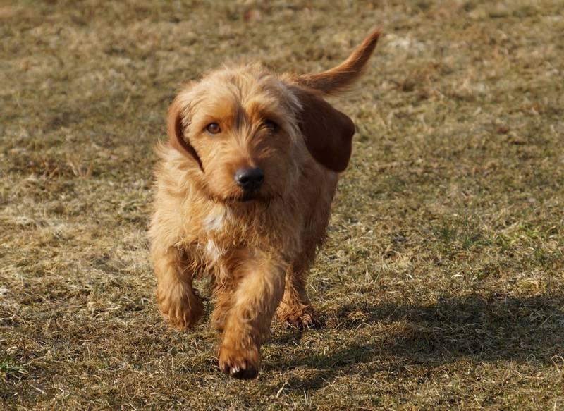 порода собаки бретонский палевый бассет