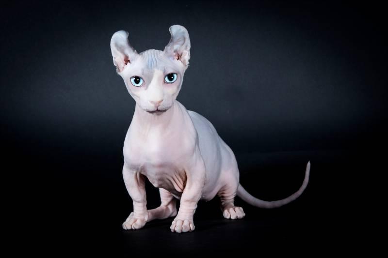 характеристики кошки породы двэльф