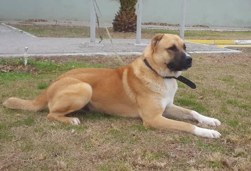 характеристики собаки породы азербайджанский гурдбасар