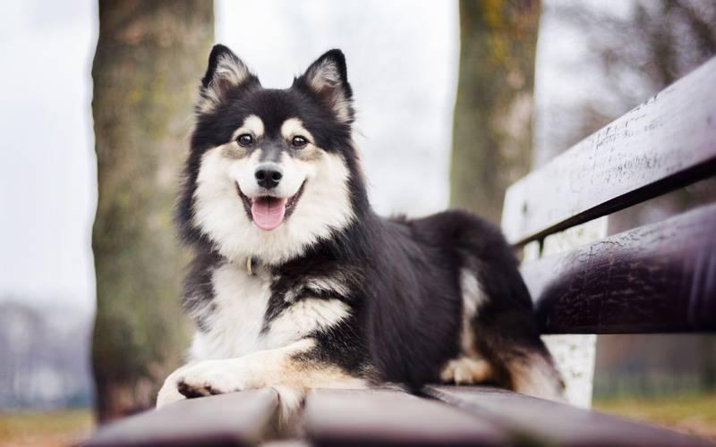 порода собаки финский лаппхунд