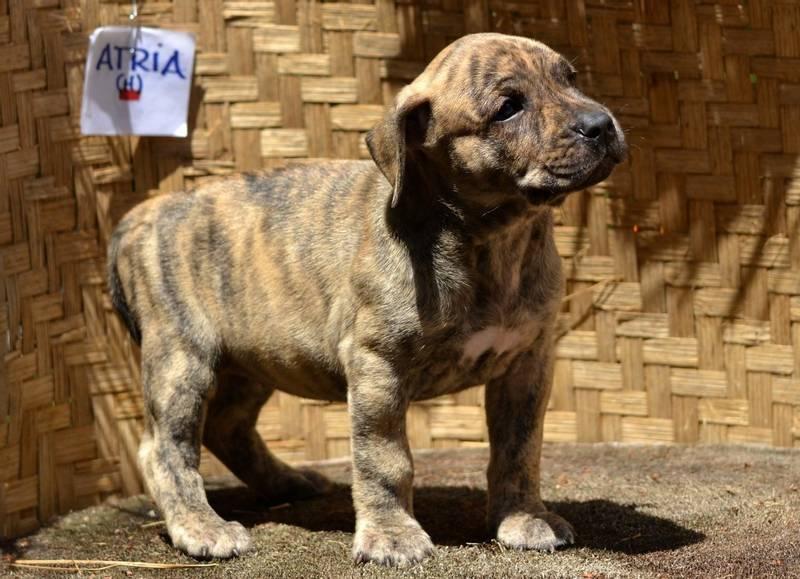 уход и содержание собаки породы уругвайский симаррон