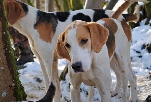уход и содержание собаки породы фел-хаунд