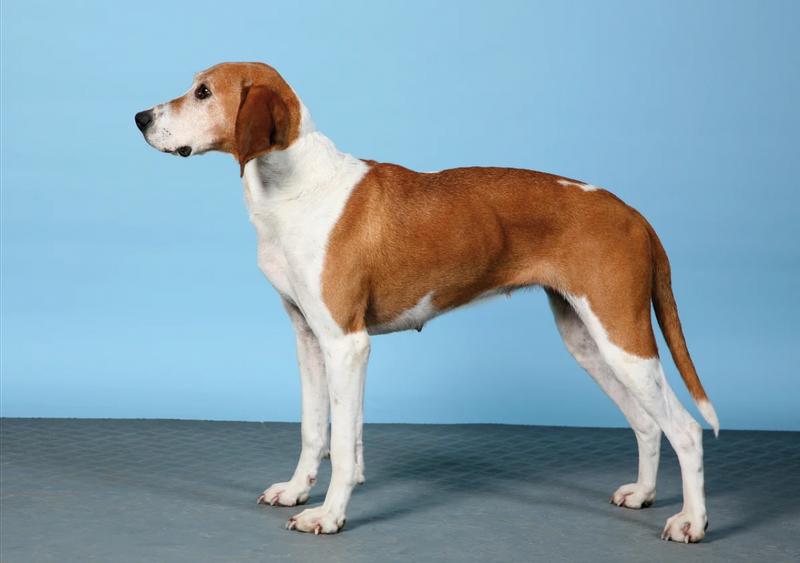порода собаки хюгенхунд
