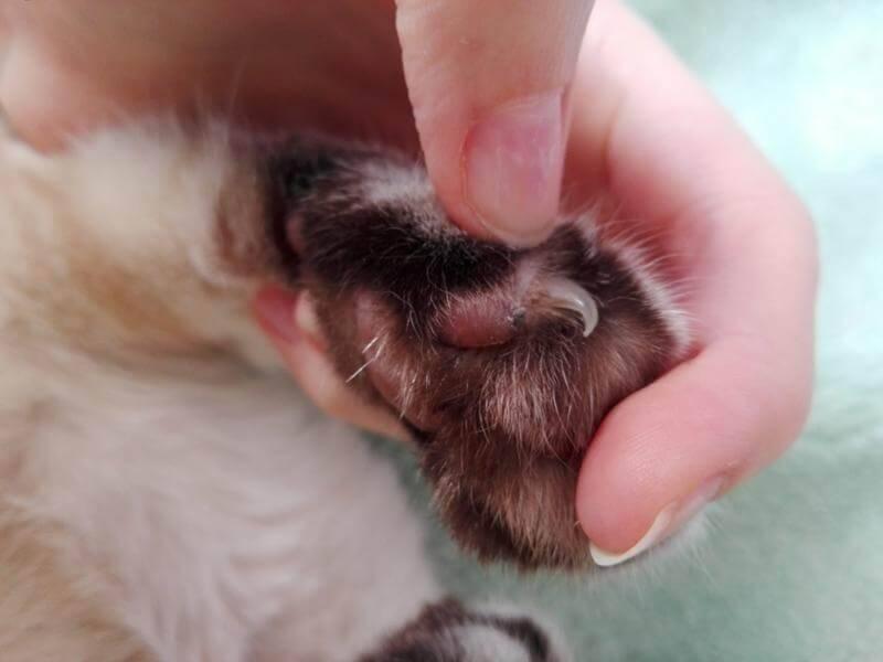 фото папилломы у кота