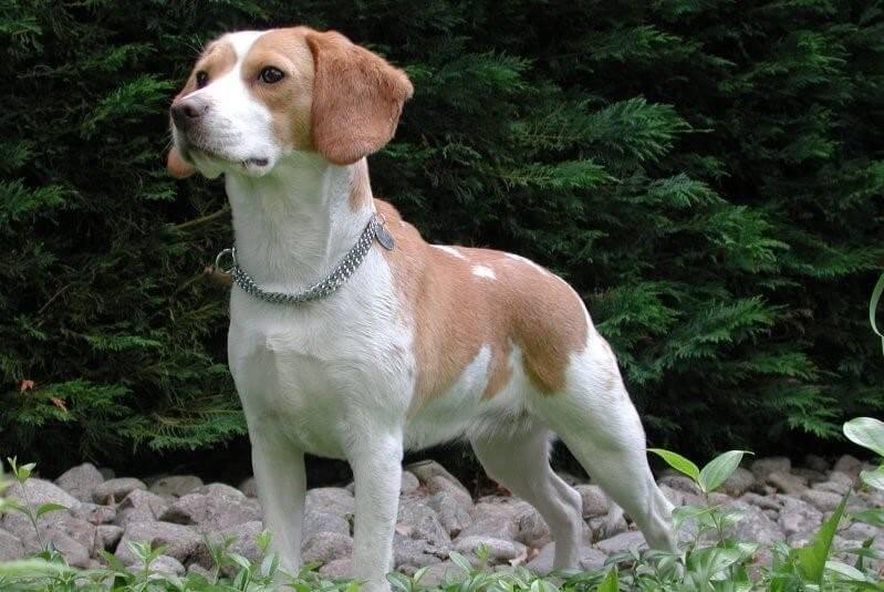 характеристики собаки породы вест кантри харьер