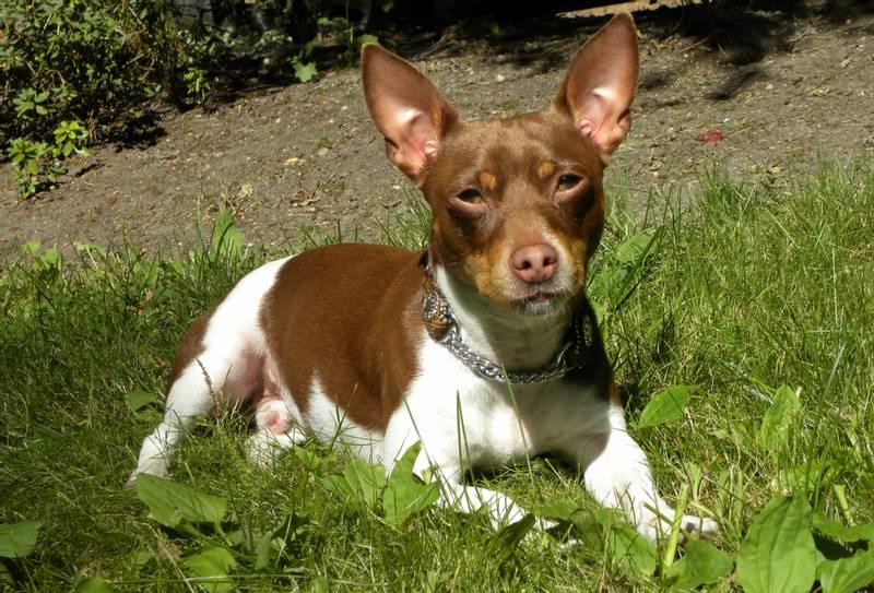 характеристики собаки породы тедди рузвельт терьер