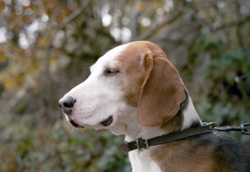 порода собаки фел-хаунд