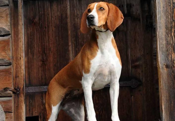 характеристики собаки породы хюгенхунд