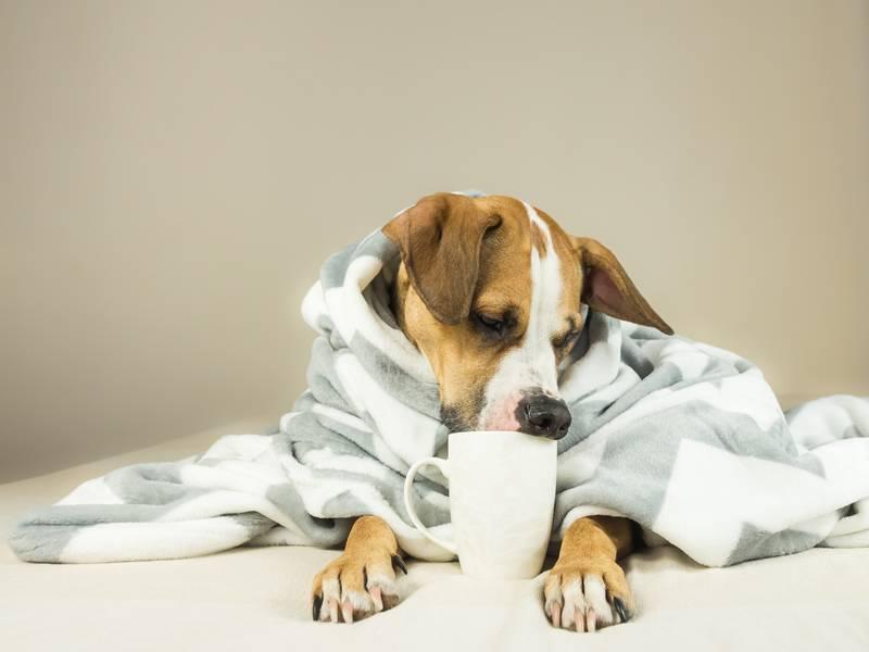 лечение энтерита у взрослых собак