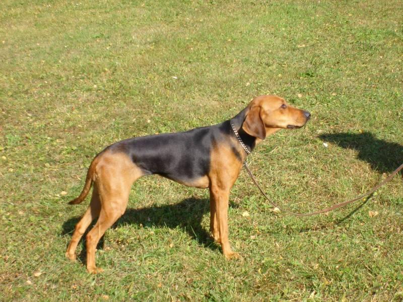 порода собаки греческая заячья гончая