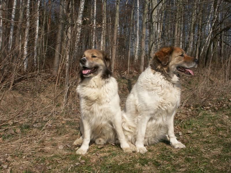 порода собаки чешская горская собака
