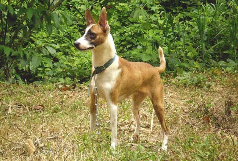характеристики собаки породы хахо-аву
