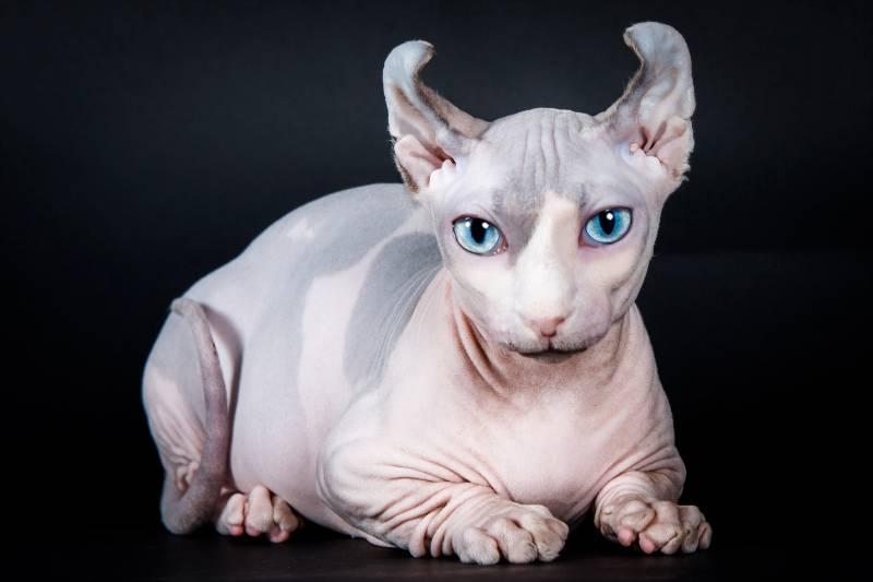 порода кошки двэльф