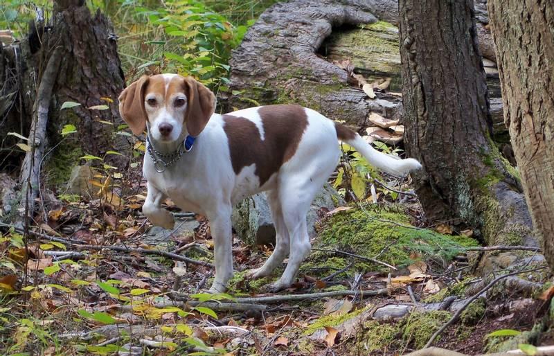 порода собаки вест кантри харьер